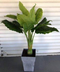 עץ בננות נמוך